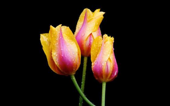 цветы, тюльпан, hoa, hành, nın, клим, những, красивые,