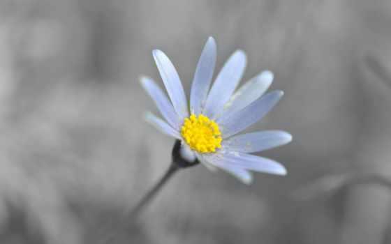 цветы, ромашка, лепестки, ulf,