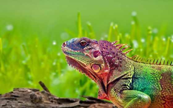 iguana, красивые, ящер, широкоформатные, драконы,