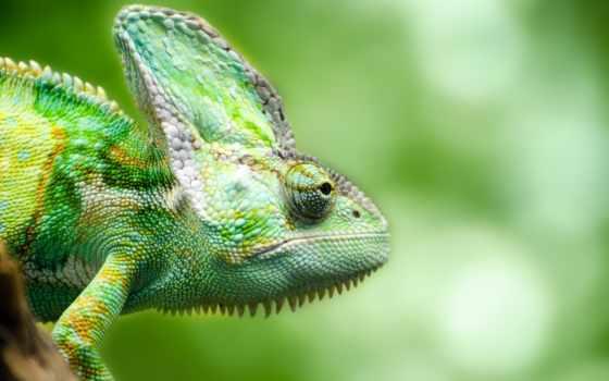 ящер, chameleon, reptile, eyes, морда,