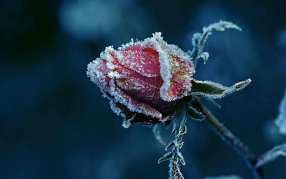 winter, роза, cvety, снег, макро, снегу, солнечный, бутон,