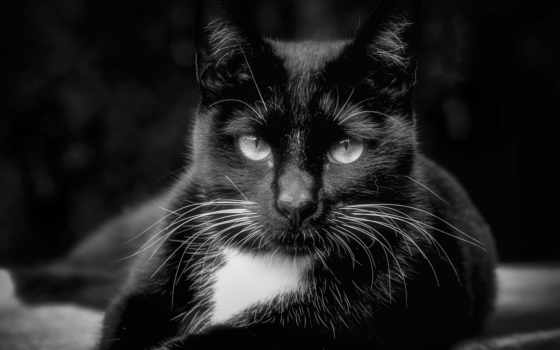 free, кот, photos, kitty, royalty, black,