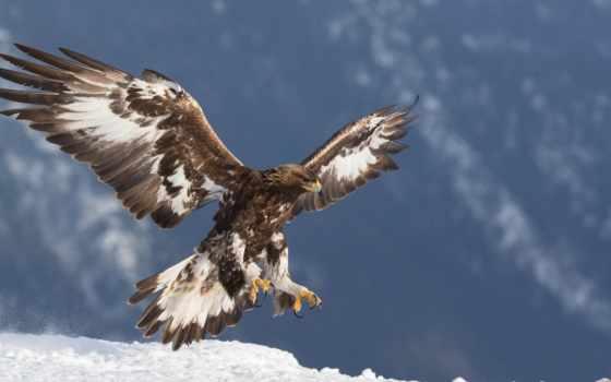 berkut, орлан, хищник, птицы, золотистый, zhivotnye, картинка,