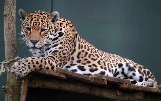 леопард, кошки, tigers, животных, тигры, большие, бесплатные, страница, android,