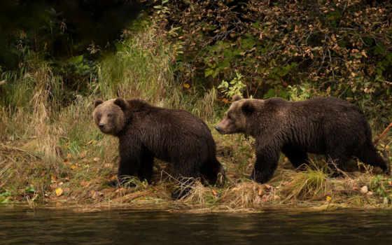 медведь, природа, desktop, берег, white, два,