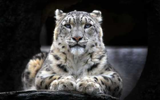 животные, леопард, animals, cats, снег, animal, биг, кот,