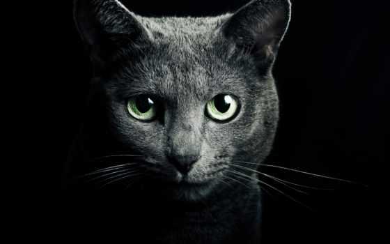 кот, русская, голубая, серый, порода, свет, iphone, black, взгляд, зеленые,