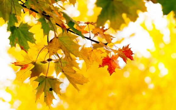 осень, листва, дерево, branch, желтые, maple,