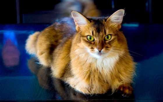 кот, cool, cats, desktop, free, отражение, sitting, столик,