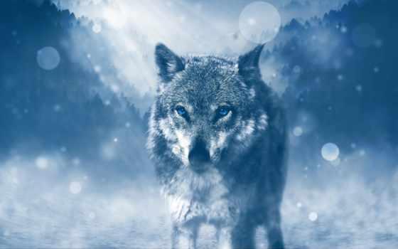 parede, волк, high, desktop, photoshop, хищник,