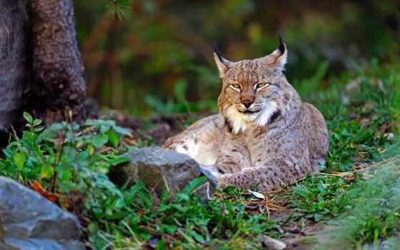 рысь, кот, wild, природа, animal, биг, трава, free, high, заставка
