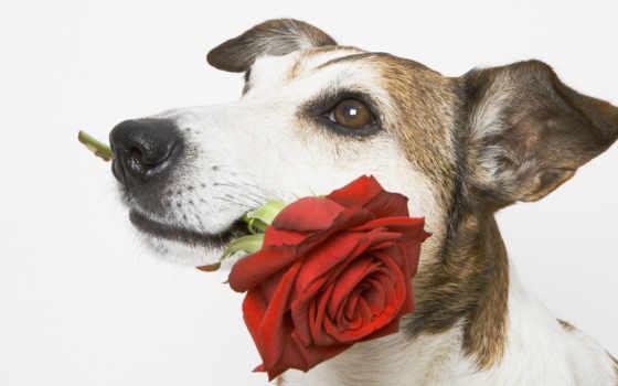 красивые, цветок, животные, nature, flowers, rose, animals, dogs, пес, подарок, roses, pets,