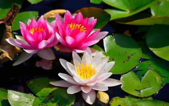 water, lily, нимфея Фон № 70870 разрешение 2560x1600