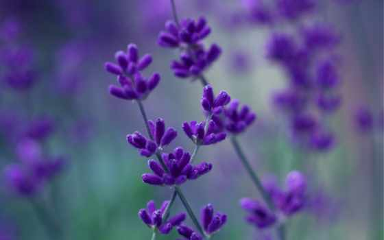 цветы, фиолетовые, lavender