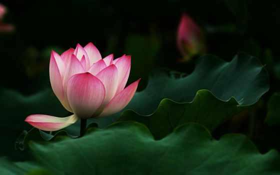 розовый, water, цветы
