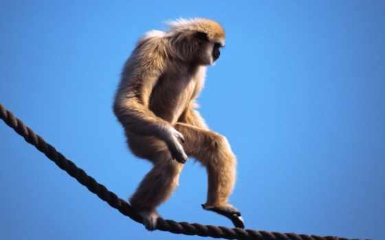обезьяна, обезьяны, приколы, качественные, ходячая, zhivotnye, канате, красивые, бесплатные,