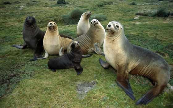 море, львы, морские, lion, steller, морских, eumetopias, jubatus, животных,