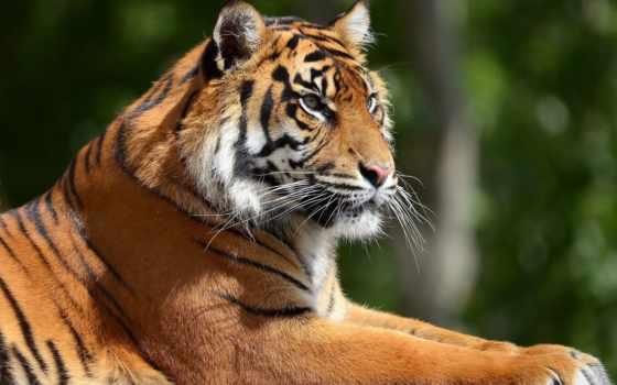 тигр, отдых Фон № 19413 разрешение 2560x1600