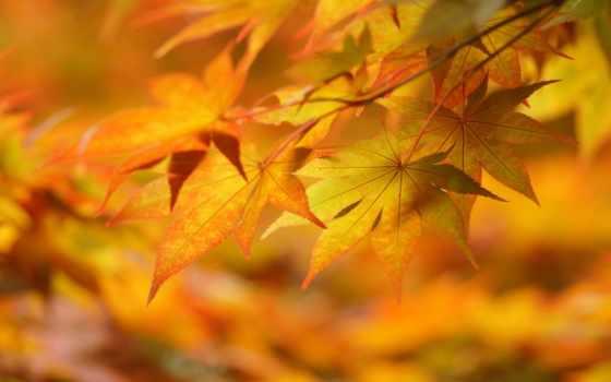 листья, желтые, осень