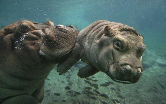 бегемоты под водой
