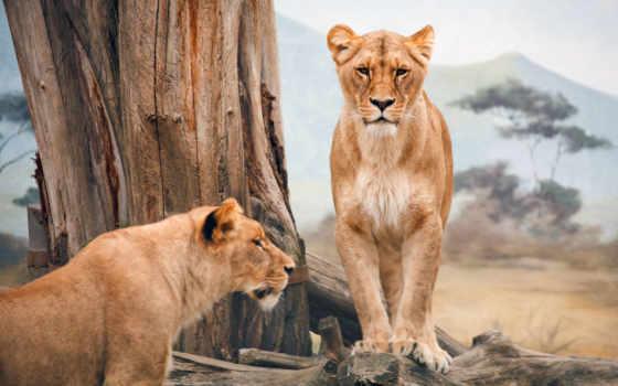 львицы, lion, фоны, кот, львица, африканские, дерево, заставки, хищники,