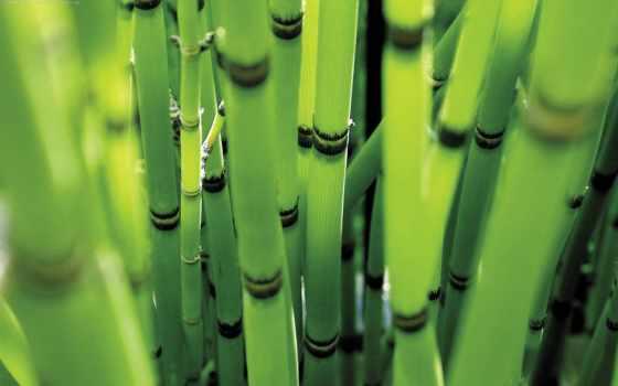 бамбук, комната, maintenance, за, растение, бамбуком, комнатным,