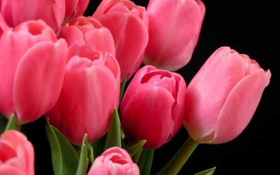 розовые, красивые, тюльпаны, разных, разрешениях, devushki,
