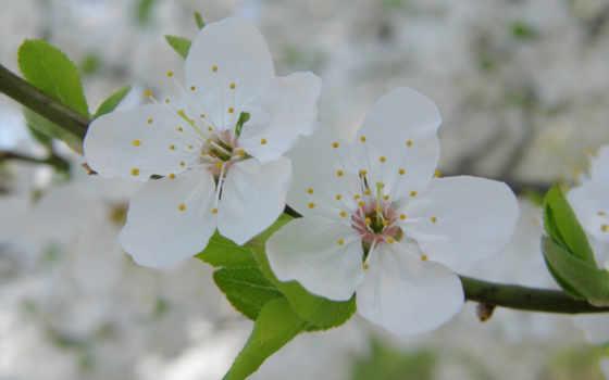 весна, цветение, cvety, лепестки, хорошем, ipad, branch, цветки,