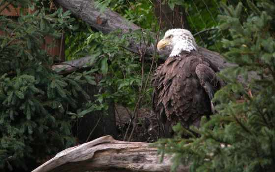 орел, обои, белоголовый, орлан, американский, лесу