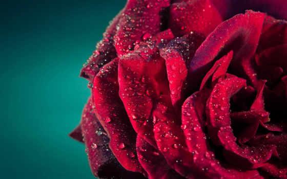 rosa, fondos, pantalla, rojo, rosas, hermosa, flores, fondo, макро, para, роса,