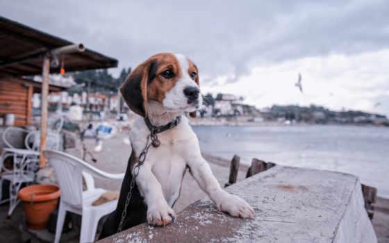 beagle, собака, собаки, щенок, набережная, zhivotnye, красивые, страница, картинка,
