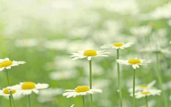 растения, cvety, поляна, ромашки, трава, природа, цветение, макро, белые, лепестки, summer,