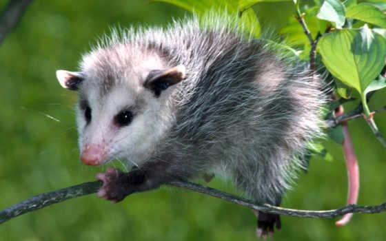 الجيرابيات, possum