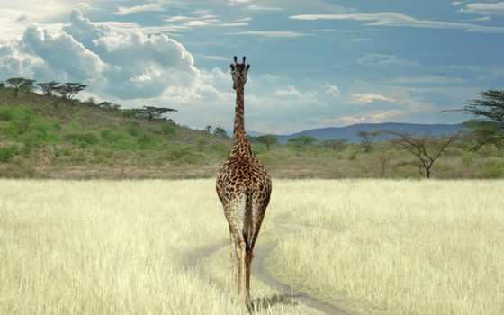 жираф, cameleopardalis, giraffa