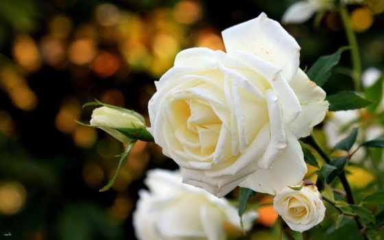 розы, белые, красивые, цветы, windows, роза, sg,