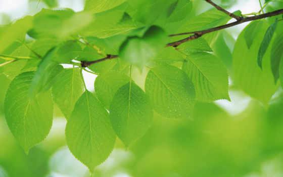 зеленые, макро, листва, природа, зелёный, разрешения, яркий,