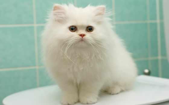 кот, белая, пушистый, персидская, white, котенок, крыша,