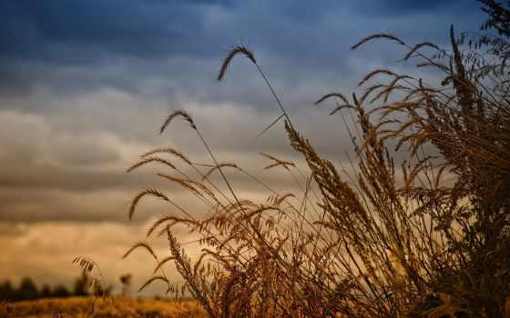 rye, колосья, колосится, поле, небо, золотистые,