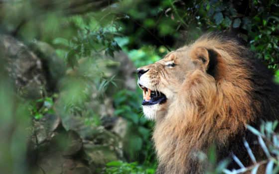 lion, ganja, youtube, кот, львы, profile, zhivotnye, www, дикие,