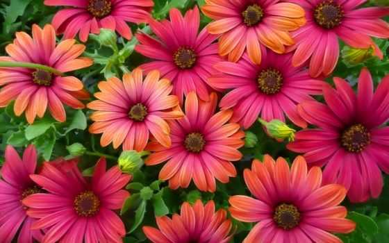 остеоспермум, cvety, растение, выращивание, магазин, martha,
