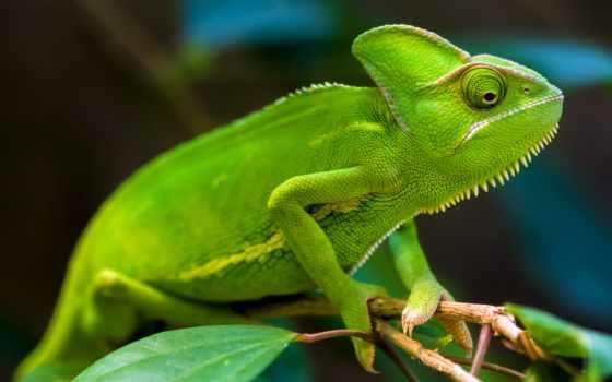 chameleon, зелёный, zhivotnye, images, rinber,