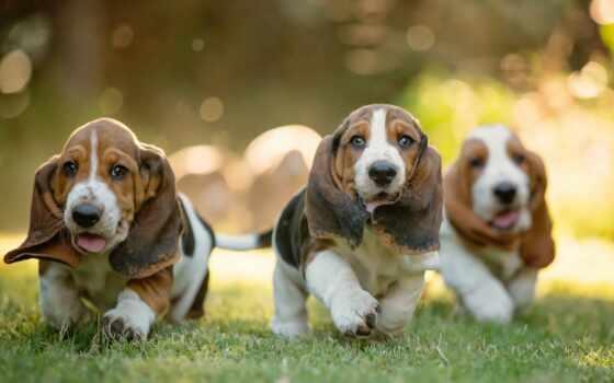 animal, красивый, собака, порода, природа, щенок, бассет, хаунд, картинка