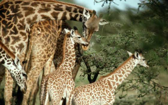 жирафы, жираф, маленькие