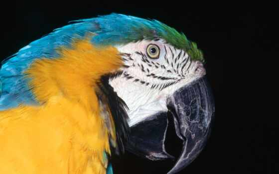 blue, macaw, yellow