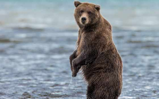 медведь, fondos, браун, медведи, pantalla, морда, картинка, escritorio, reki,