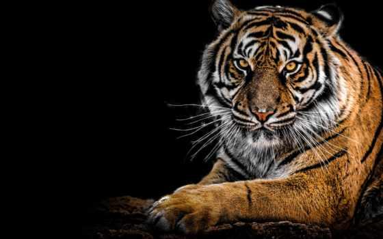 тигр, adida, фон