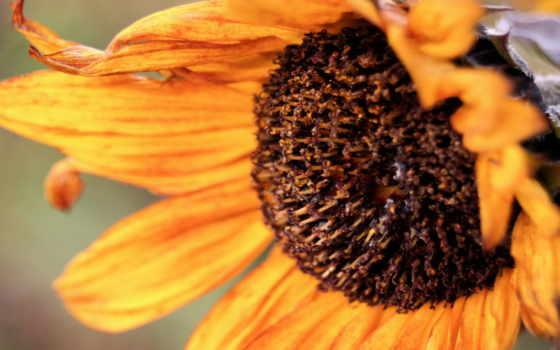 sunflower, backgrounds