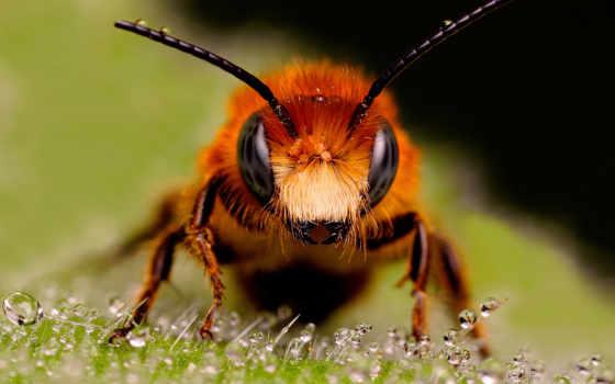 пчела, рисунки, пчелы