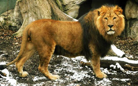 lion, грива, взгляд