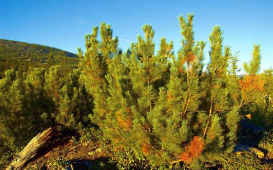 you, pine, природа